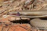 Burton's Legless Lizard - Lialis burtoni 0820