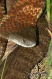 Tiger Snake - Notechis scutatus 0458