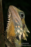Boyd's Forest Dragon - Hypsilurus boydii 9421