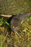 Freshwater Turtles - Cheluidae