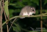 Prehensile-tailed Rat
