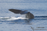 Sperm Whale 6288