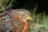 Red-backed Button-quail