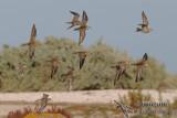 Pacific Golden Plover 2416.jpg