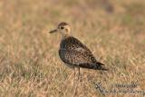 Pacific Golden Plover 9989.jpg
