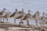 Black-tailed Godwit 2462.jpg