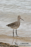 Black-tailed Godwit 2476.jpg