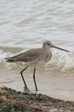 Black-tailed Godwit 2477.jpg