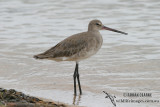 Black-tailed Godwit 2482.jpg