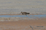 Black-tailed Godwit 8888.jpg