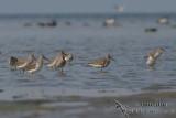 Curlew Sandpiper 5038.jpg
