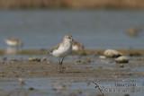Curlew Sandpiper 8312.jpg