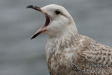 Slaty-backed Gull 3271