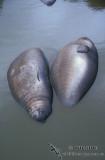 Southern Elephant Seal M590