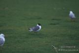 Franklins Gull s1295.jpg