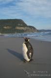 King Penguin s0083.jpg