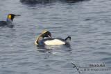King Penguin s0098.jpg