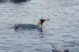 King Penguin s0100.jpg