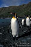 King Penguin s0101.jpg
