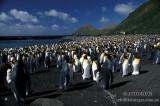 King Penguin s0102.jpg