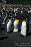 King Penguin s0103.jpg