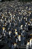 King Penguin s0108.jpg
