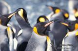 King Penguin s0109.jpg