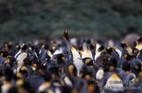 King Penguin s0113.jpg