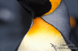 King Penguin s0114