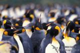 King Penguin s0116.jpg