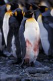 King Penguin s0118.jpg
