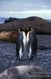 King Penguin s0119.jpg