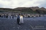 King Penguin s0120.jpg