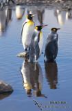 King Penguin s0121.jpg