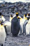 King Penguin s0122.jpg