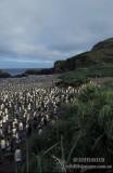 King Penguin s0125.jpg