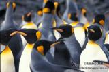 King Penguin s0132.jpg