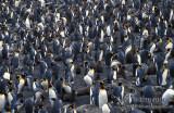 King Penguin s0134.jpg