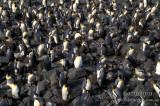 King Penguin s0137.jpg