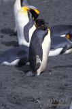 King Penguin s0142.jpg