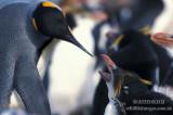 King Penguin s0143.jpg