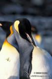 King Penguin s0144.jpg