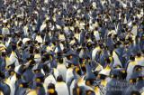 King Penguin s0145.jpg