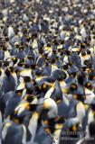 King Penguin s0146.jpg