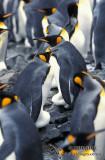 King Penguin s0147.jpg