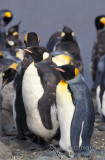 King Penguin s0148.jpg