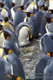 King Penguin s0149.jpg