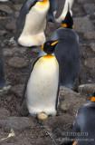 King Penguin s0150.jpg