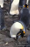 King Penguin s0154.jpg