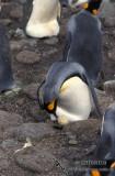 King Penguin s0155.jpg